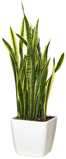 kamerplant-sansevieria-jair
